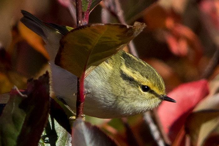 Fuglekongesanger på Utsira, 20.10.16